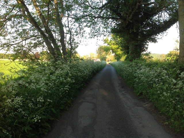 cow parsley on our lane