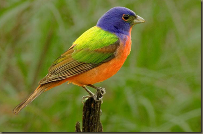 Image Detail for   http   hagsrags.files.wordpress.com 2011 05 painted bunting no 1.jpg