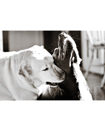 """It was only a sunny smile, and little it cost in the giving, but like morning light it scattered the night and made the day worth living."" ― F. Scott Fitzgerald (Brisbie and Brandy, Labrador retrievers from Tampa, Florida.)"
