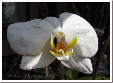 04-29-unkn-white-orchid