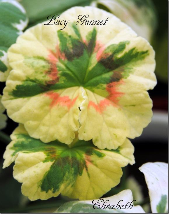 Pelargonium juli -11 030