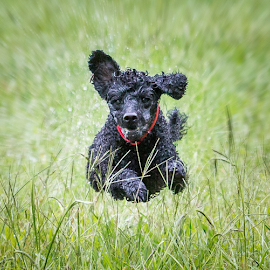 Coco by Gary Beresford - Animals - Dogs Running ( flying, poodle, chasing, ears, wet )