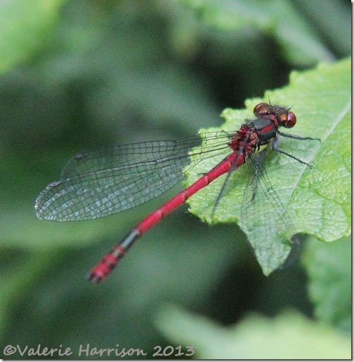 23-large-red-damselfly