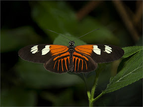 Heliconius melpomene by John Powell EFIAP DPAGB BPE4