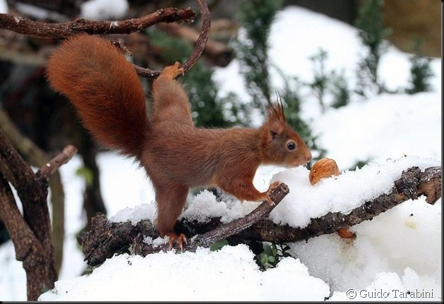 Guido Tarabini. Écureuil roux femelle