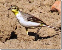 036 Yellow Sparrow ( Pili Chakli )