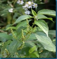 host plant false nettle