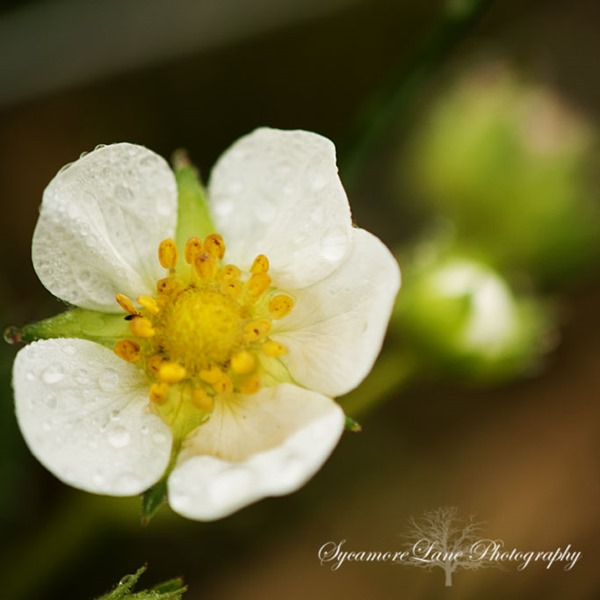 SycamoreLane Photography-strawberry blossom
