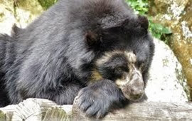 Amazing Pictures of Animals, Photo, Nature, Incredibel, Funny, Zoo, Spectacled bear, Tremarctos ornatus, Mammals, Alex (7)