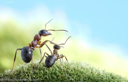formigas inacreditaveis incriveis desbaratinando  (34)