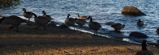 Tahoe City Geese (1)