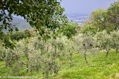 vineyard-olive-grove-5