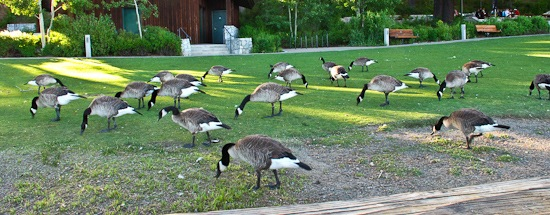 Tahoe City Geese (2)
