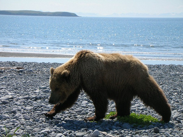 Grizzly Bear on the Beach in Katmai