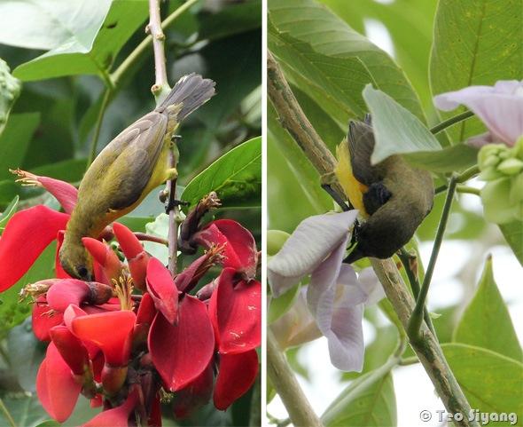 Erythrina-fairchildiana-sunbird