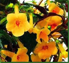 Achimenes Yellow Beauty
