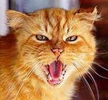 Gatto fulvo testa (picc)