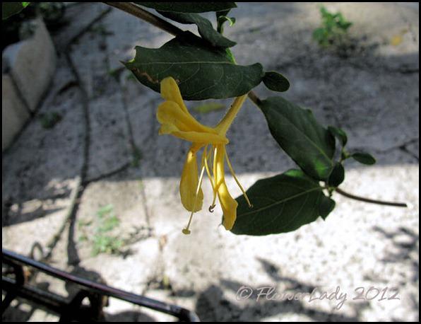 03-20-vine-bloom