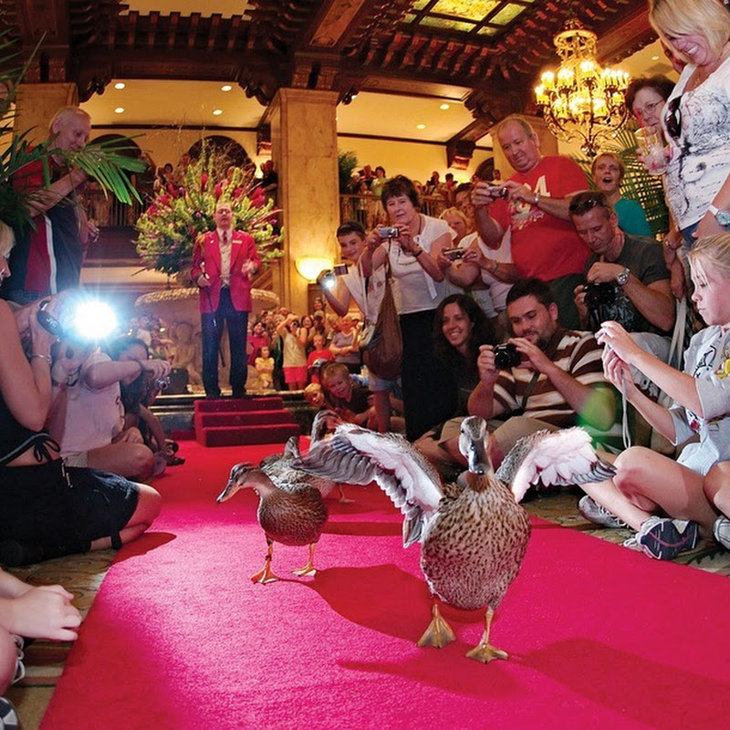 Ducks Rule at Peabody Hotel, Memphis
