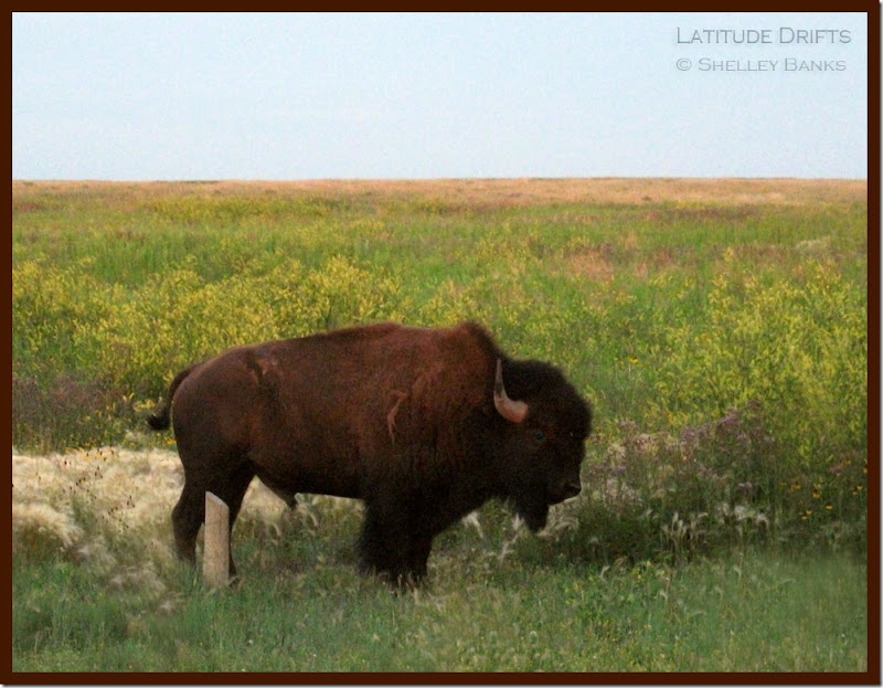 Bison at Dusk, Grasslands - photo by Shelley Banks