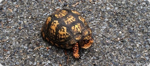 June 27 turtle