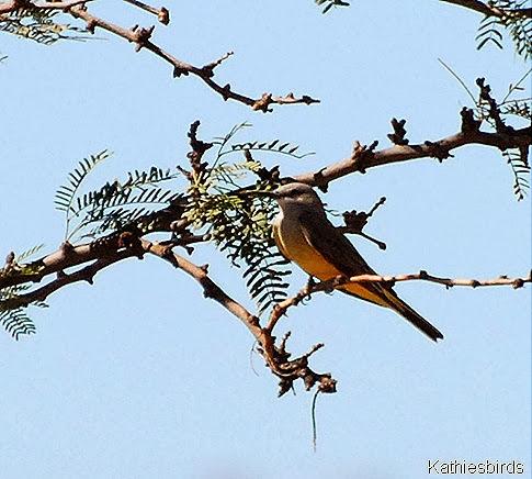 14. cassin's kingbird-kab