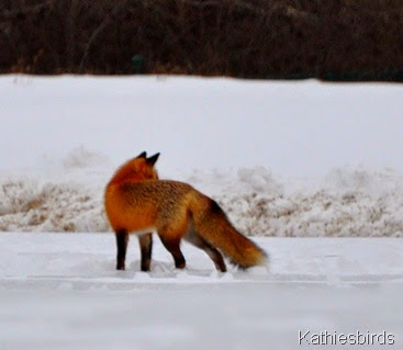 19. 1-11-15 red fox-kab