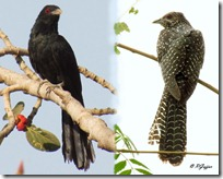 026 Asian Koel ( Male- Female )