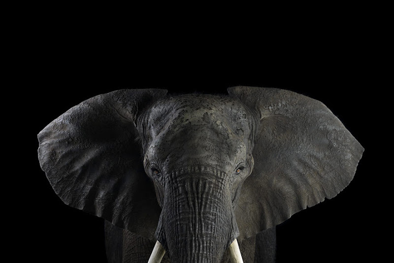 animal-photography-affinity-Brad-Wilson-elephant-1.jpeg