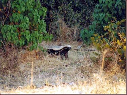 Amazing Animals Pictures  honey badger (Mellivora capensis) (4)