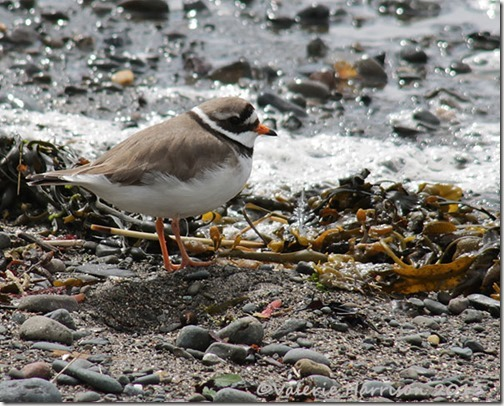 7-Ringed-plover
