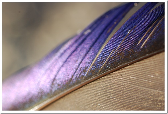 Mallard Feather