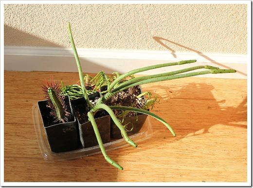 111218_-Euphorbia-leucodendron