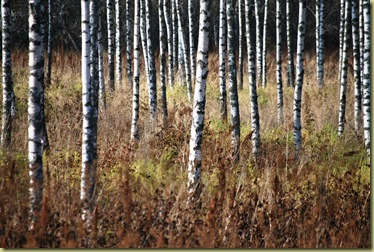 Autumn 2011 - Birches Oct 16