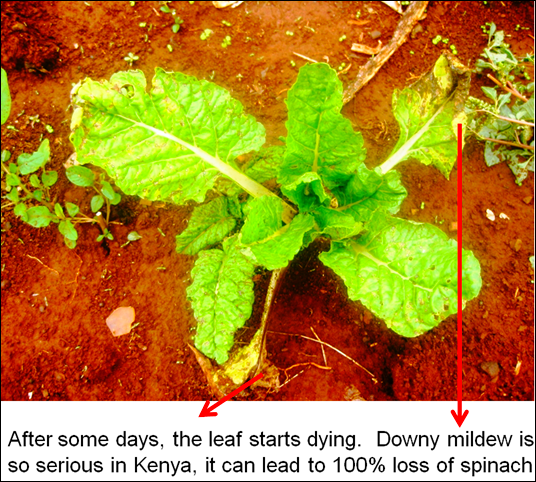 downy mildew in spinach 2
