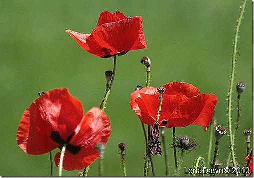 M_Red_Poppies2
