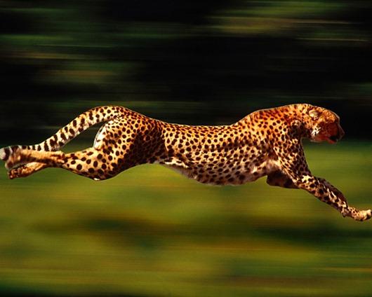 leopard03