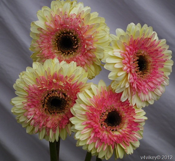 Beautiful Types of  Daisy Flowers, Double shade Daisy Flowers