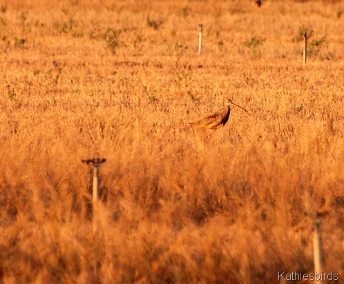 6. DSC_0087 curlew-kab