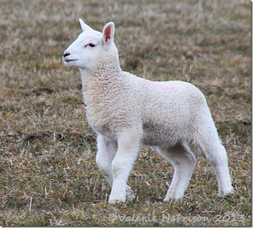 75-lamb
