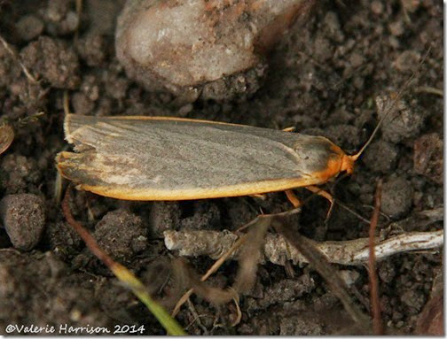 common-footman