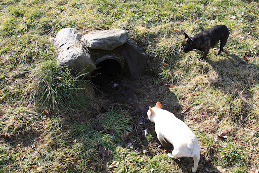 Francesca, I don't know about this.  Do you really think a fox would take shelter in a drainage pipe?  I'm too scared to look!