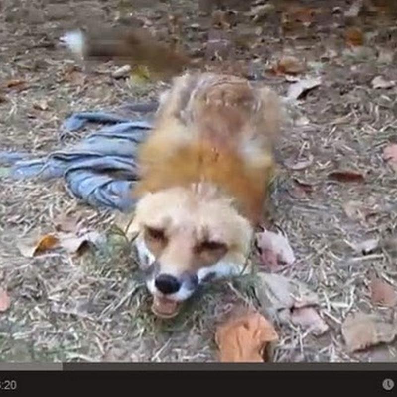 Μια φιλική αλεπού