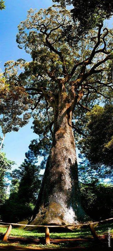 4- A árvore mais velha do Brasil