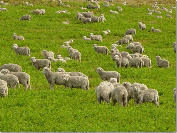 Ovelhas Pastando (11)