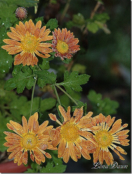 Frosty_Mums_Oct30