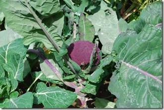 Brócolos roxos  DSC_0472DSC_048614