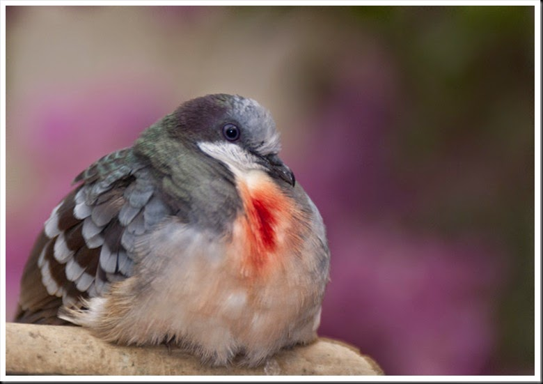 Bleeding Heart Pigeon