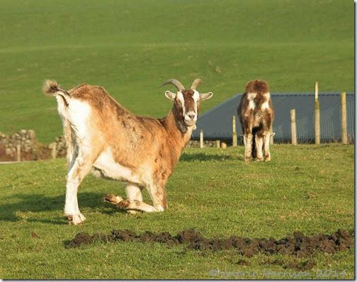 9-goats