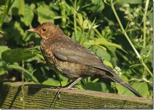 30-juv-blackbird